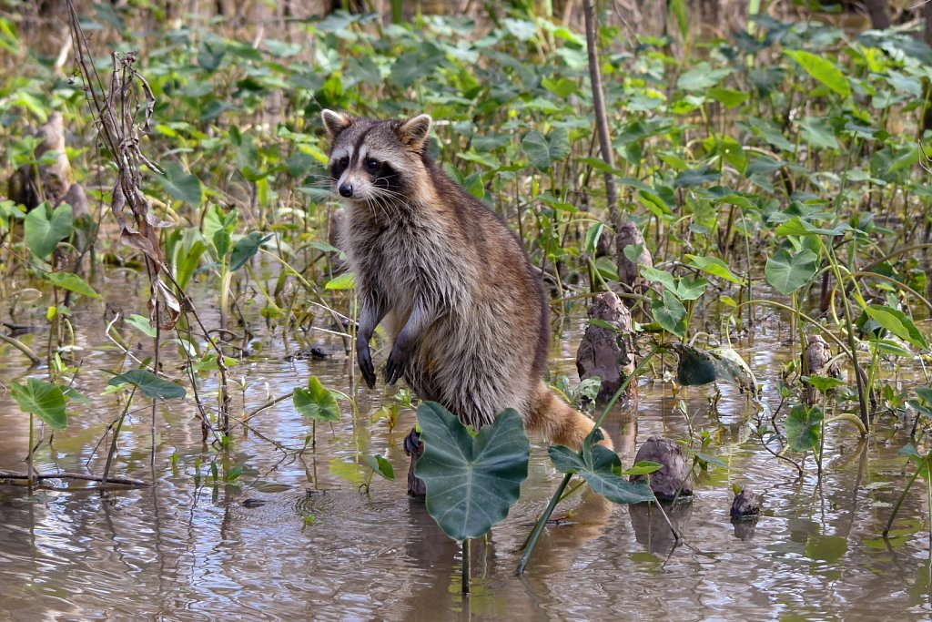 Raccoon in the Louisiana swamps
