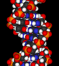 DNA fragment (Wikimedia Commons)