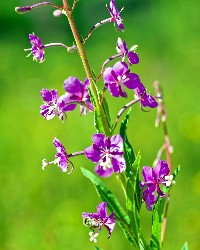 Fireweed (Kelly Gorham, Montana State)
