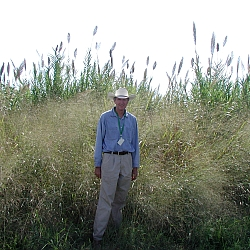 Switchgrass (Agricultural Research Service/USDA)