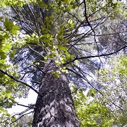 Tree (FS.USDA.gov)