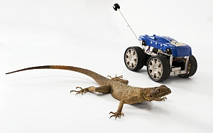 Agama lizard and Tailbot (Robert Full, UC Berkeley)