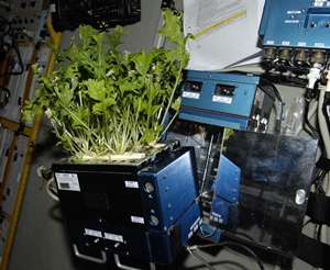 Lettuce grown on ISS