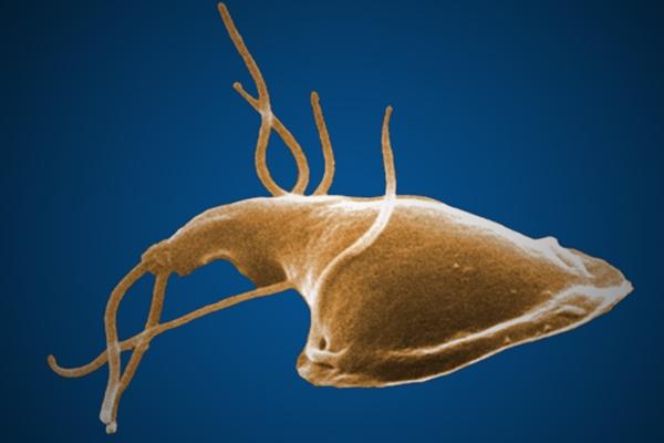 Giardia lamblia parasite