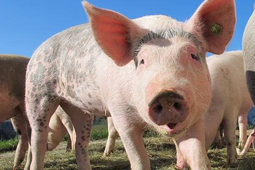 Pig close-up