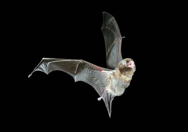 Southern bentwing bat