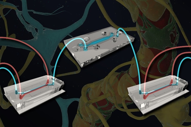 Blood-brain barrier chip illustration