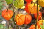 Groundcherry plant